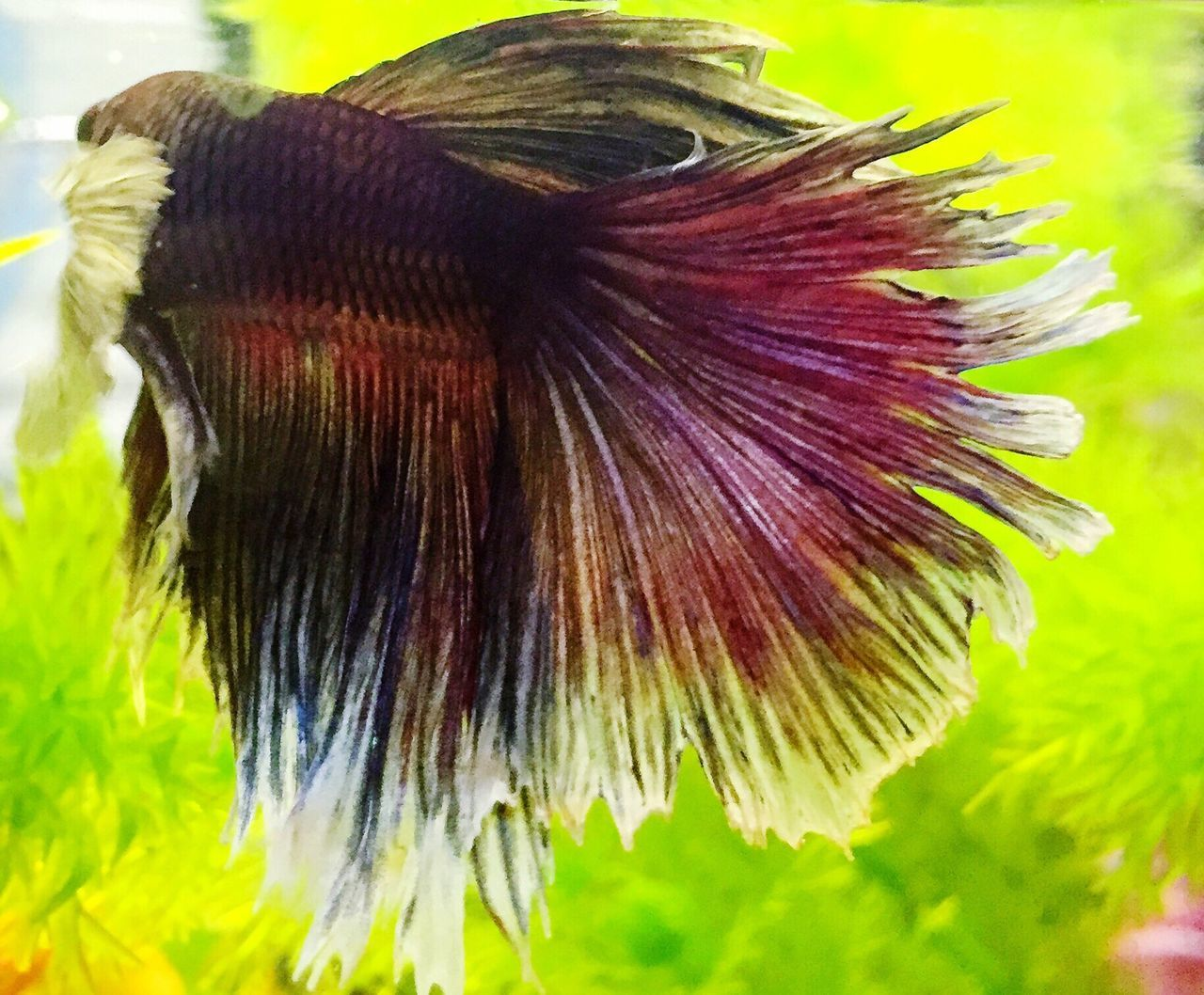 Betta Fish Betta  Fish Betta Lovers Bettafishcommunity Siamese Fighting Fish Colorful