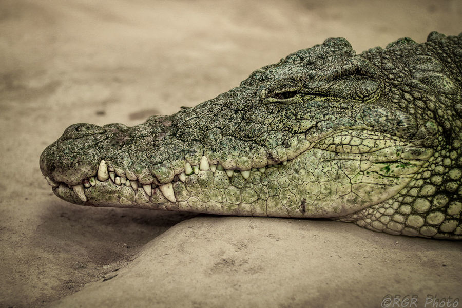 Alligator Animal Themes Animal Wildlife Close-up Cocodrile Cocodrilo Crocodile Day FauniaCheck This Out Jaws Nature No People One Animal Reptile Zoo Zoo Animals  EyeEm Gallery Check This Out! Malephotographerofthemonth MPOTM - WeekendChallengeNo1