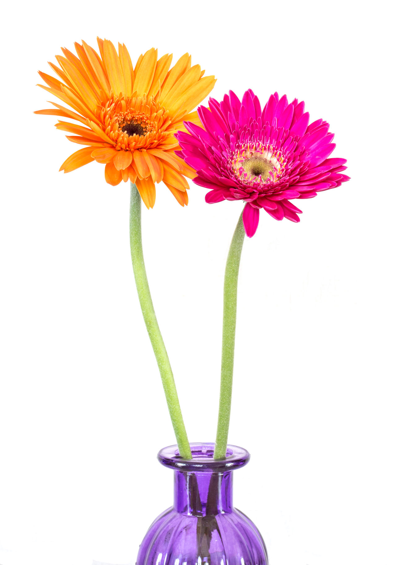 Gerbera daisy isolated on white Beautiful Beauty In Nature Close-up Colorfull Flower Flower Head Fragility Freshness Gerbera Daisy Nature No People Studio Shot White Background