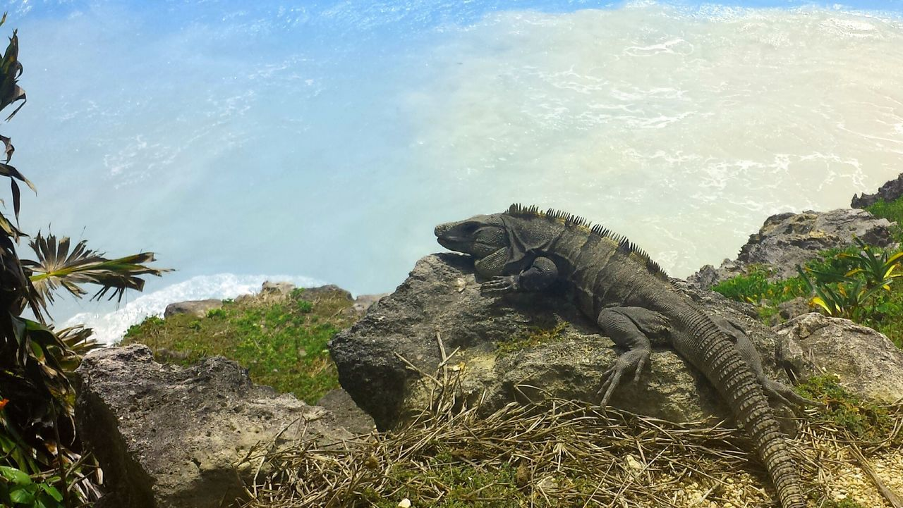 Tart Reptile Animals In The Wild Water No People Day Nature Beach Tulum , Rivera Maya. One Animal