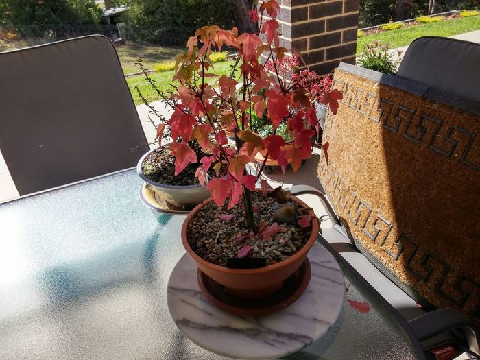 Autumn Taking Photos , Tridents Maple,Bonsai. Pot.
