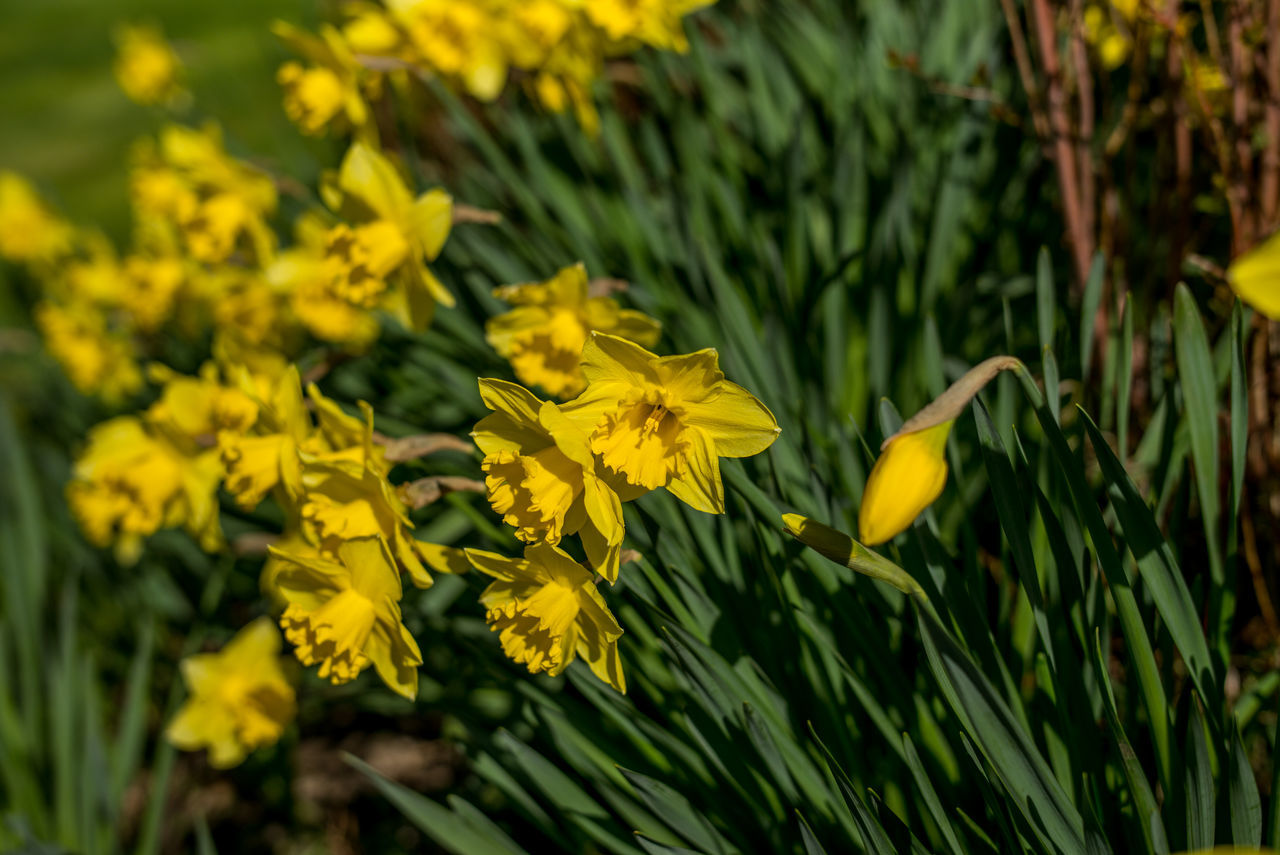 """""""A sign of Spring"""". Beauty In Nature Daffodils Flower Flower Head Flowers Fragility Garden Garden Flowers Garden Love Garden Photography Gardening Gardens Growth Landscape Nature Nature Nature On Your Doorstep Nature Photography Nature_collection Naturelovers Outdoor Outdoor Photography Outdoors Petal Yellow"""