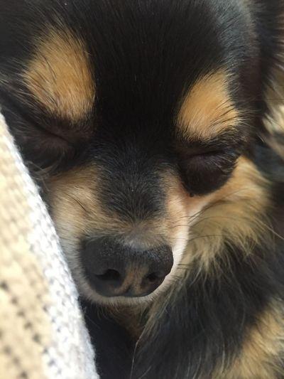 先日の犬カフェで。ワンコ寝ちゃった。 EyeEm Hello World Enjoying Life Relaxing ワンコと仲良くなれる Doglover Dog Taking Photos By Me Iphone 6 もふもふ 犬 チワワ Chihuahua お昼寝 Dogcafe OSAKA 犬カフェ ドッグテイル