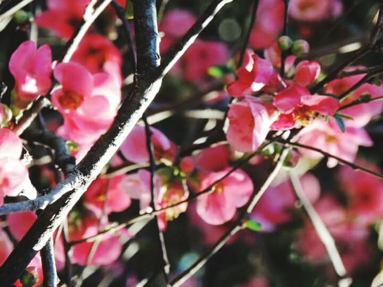 growth, beauty in nature, nature, flower, fragility, outdoors, no people, freshness, day, pink color, branch, plant, close-up, tree