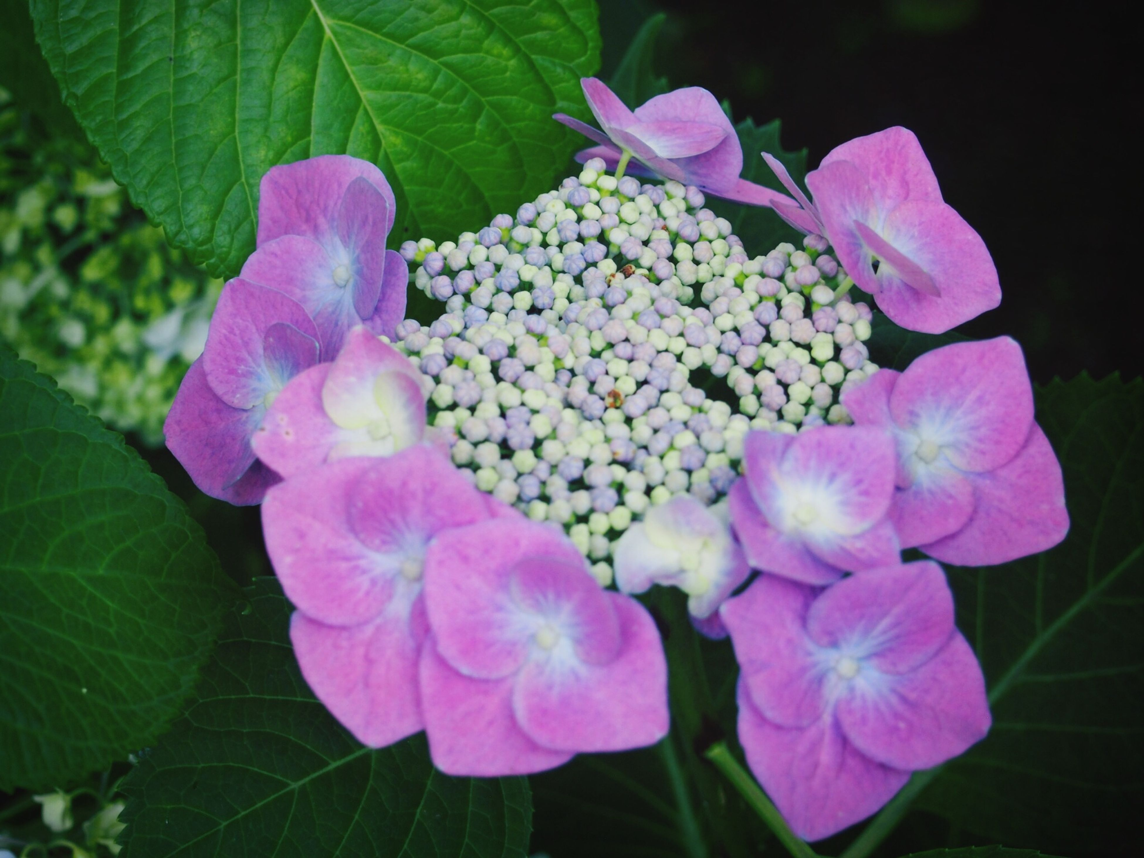 flower, freshness, petal, fragility, growth, beauty in nature, flower head, plant, purple, close-up, leaf, nature, blooming, pink color, high angle view, in bloom, hydrangea, focus on foreground, no people, bud