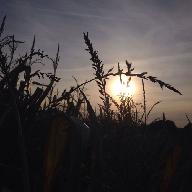 September Impression .... Sun Growth Sunset Plant Silhouette Tranquil Scene Close-up Nature Grass Beauty In Nature Field Scenics Sky Non-urban Scene Outdoors Uncultivated Focus On Foreground Back Lit Stalk