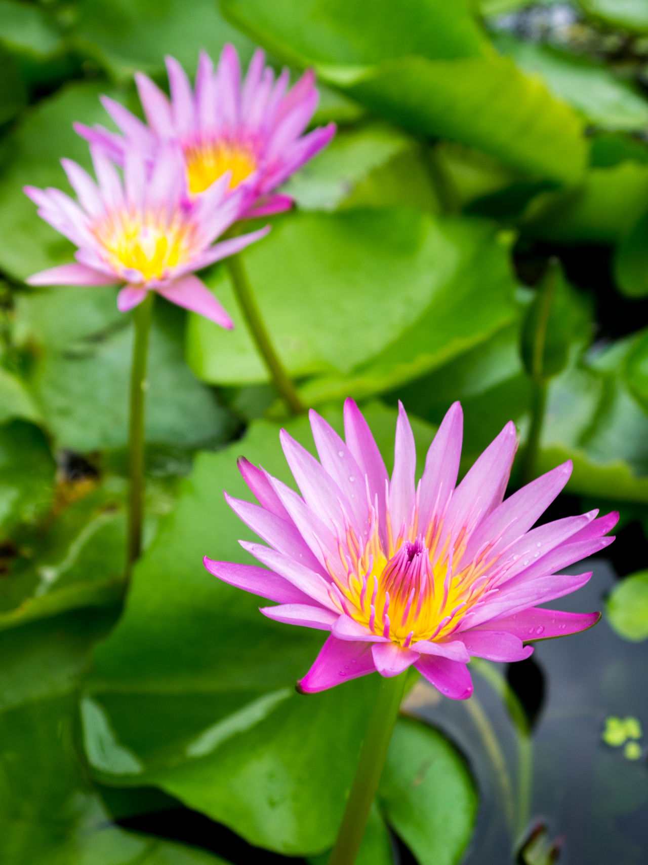Blooming Purple Lotus in Pond Beauty In Nature Blooming Close-up Day Flower Flower Head Focus On Foreground Fragility Freshness Growth Leaf Lotus Lotus Water Lily Love Nature No People Outdoors Petal Pink Color Plant