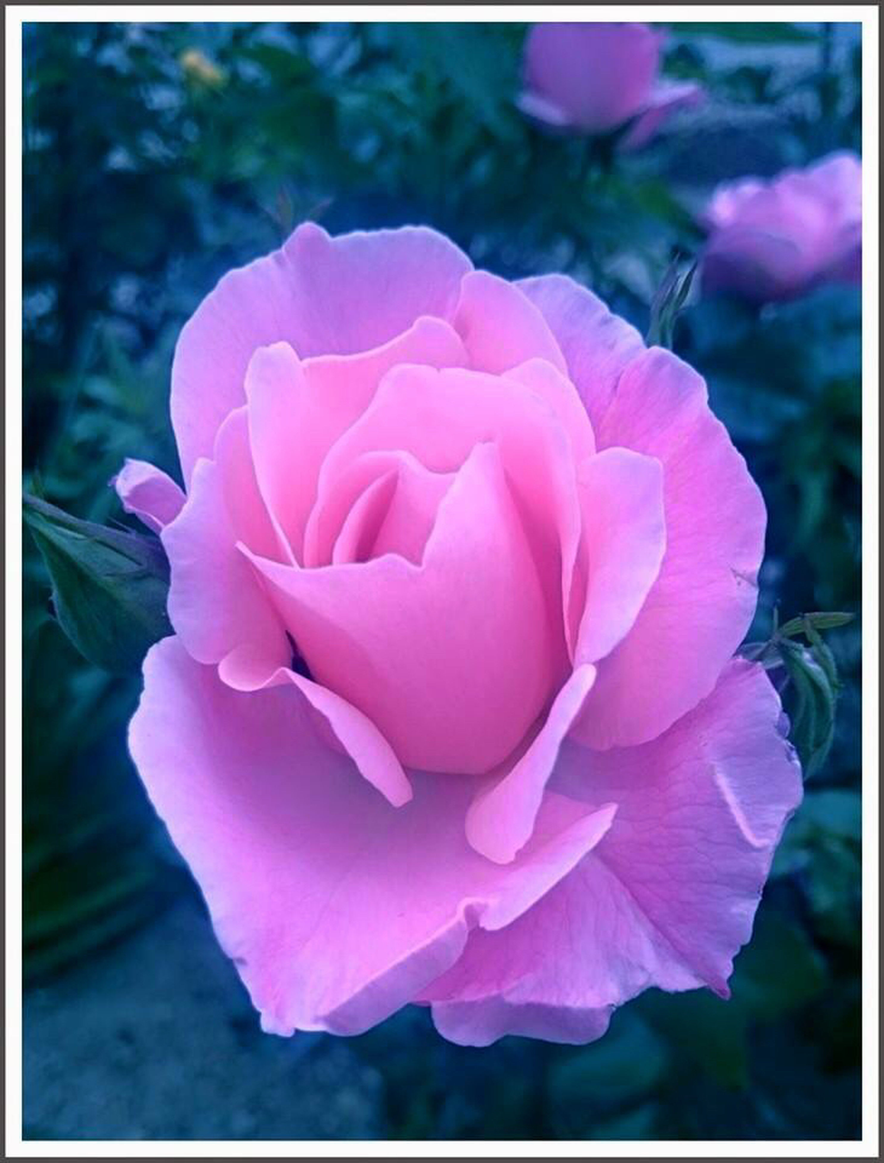 transfer print, flower, petal, auto post production filter, flower head, fragility, freshness, close-up, pink color, beauty in nature, focus on foreground, rose - flower, growth, nature, single flower, blooming, rose, plant, day, pink