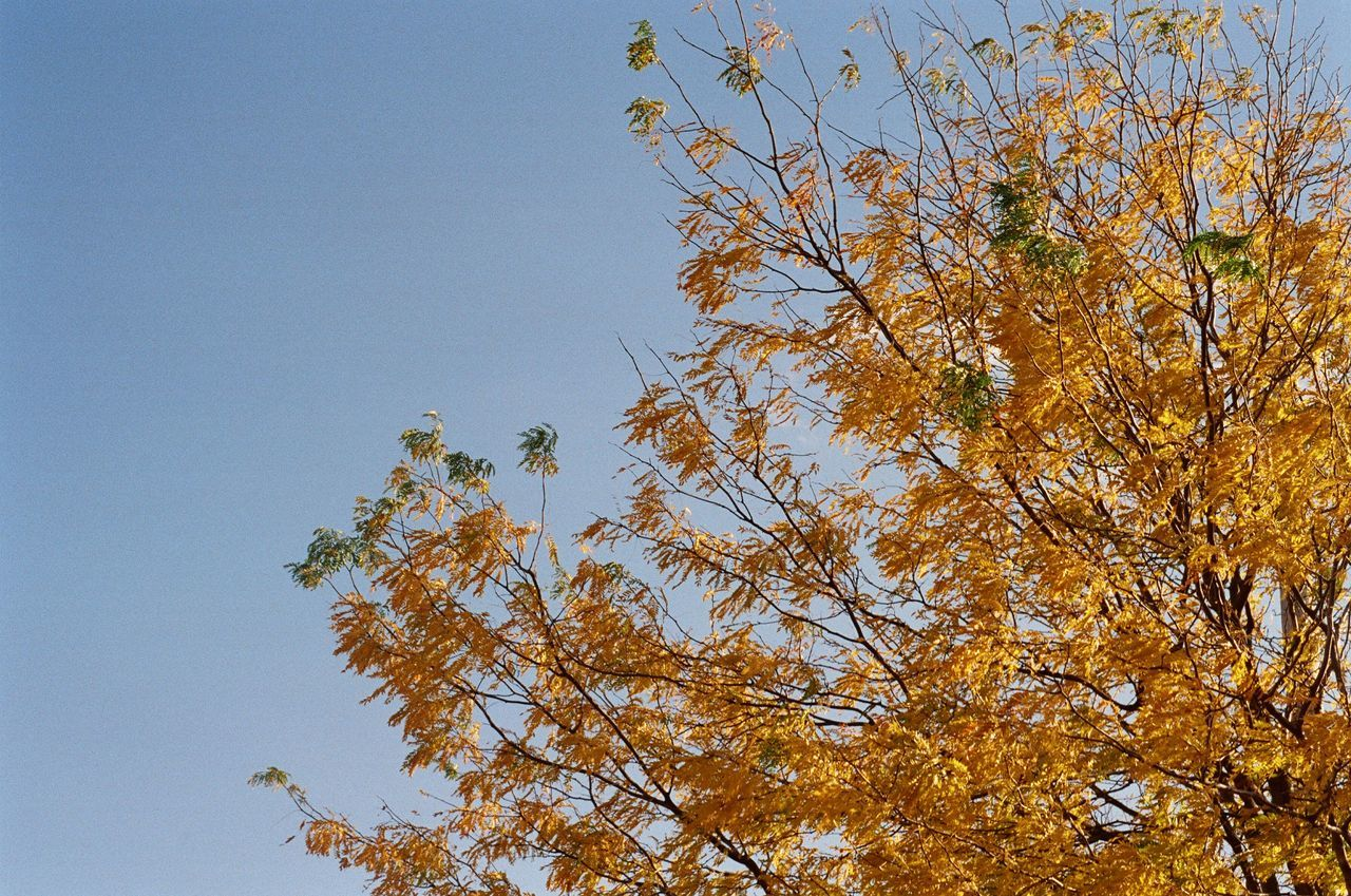 Autumn Autumn Colors Autumn Leaves Blue Branch Clear Sky Fall Film Photography Growth High Section Leaf Low Angle View Nature No People Orange Leaves Scenics Sunny Tranquil Scene Tranquility Tree Treetop