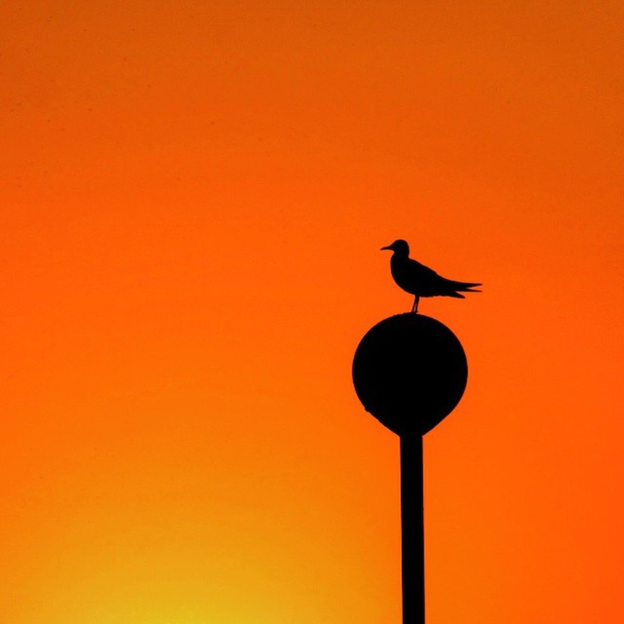 animals in the wild, bird, animal wildlife, silhouette, animal themes, perching, sunset, no people, low angle view, one animal, outdoors, nature, raven - bird, stork, day
