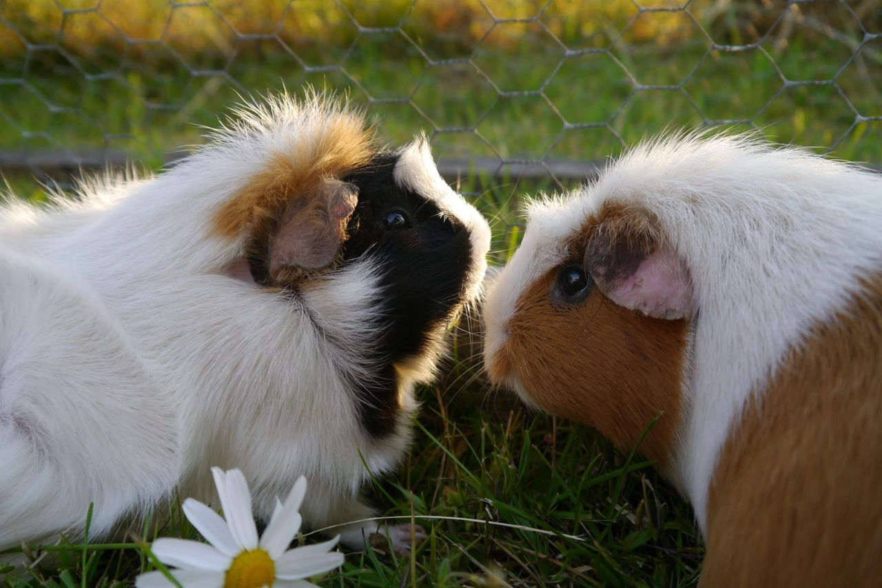 Beautiful stock photos of guinea-pigs, Animal Themes, Day, Domestic Animals, Fence