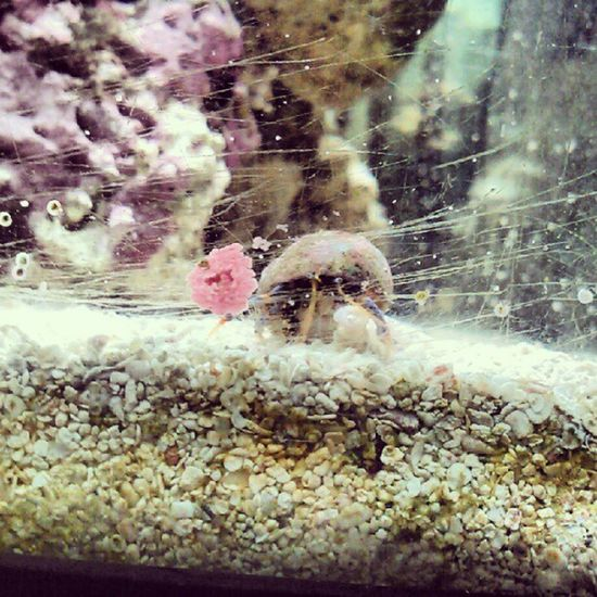 Oh hi there little guy :) this be Hank... Hermitcrab Saltwater Saltwatertank Cute little crab dingaling
