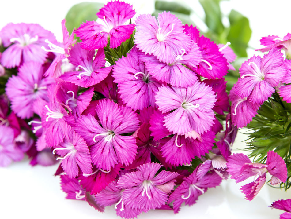 Dianthus barbatus (Sweet William) pink flowers isolated on white background . Background; Barbatus; Beautiful; Beauty; Bloom; Blooming; Blossom; Botanic; Botanical; Botany; Bright; Bunch; Carnation; China; Closeup; Cluster; Color; Colorful; Dianthus; Flora; Floral; Flower; Freshness; Garden; Gardening; Green; Horticulture; Isolated; Leaf; Macro; Natural; Nature; Perennial; Petal; Pink; Plant; Purple; Red; Romantic; Season; Small; Spring; Stamen; Summer; Sweet; White; William; Beauty In Nature Blooming Close-up Day Flower Flower Head Fragility Freshness Growth Nature No People Outdoors Petal Pink Color Plant
