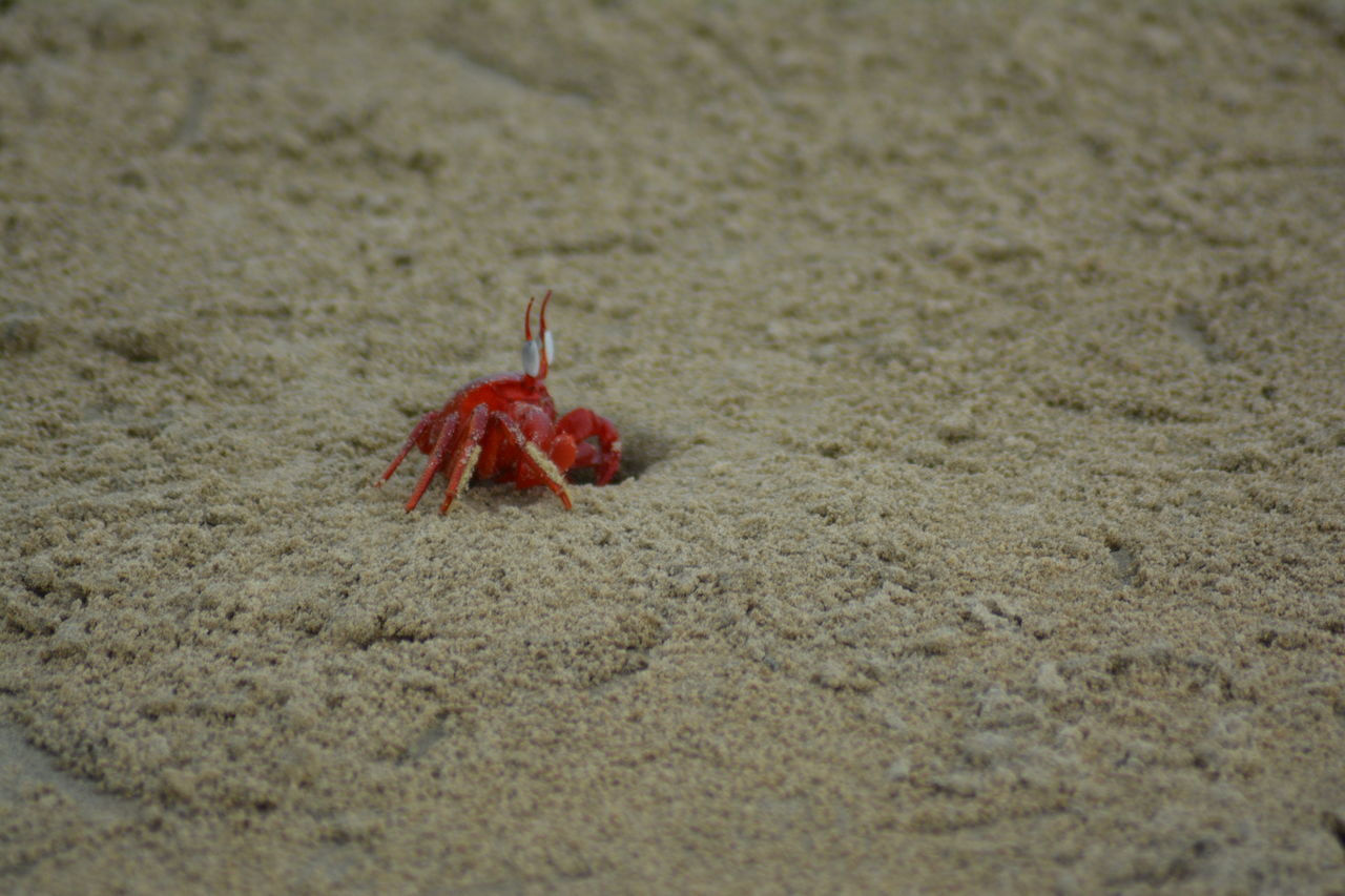 beach, sand, one animal, hermit crab, crab, animal themes, selective focus, day, no people, sea life, animals in the wild, outdoors, red, nature, close-up, animal wildlife, crustacean