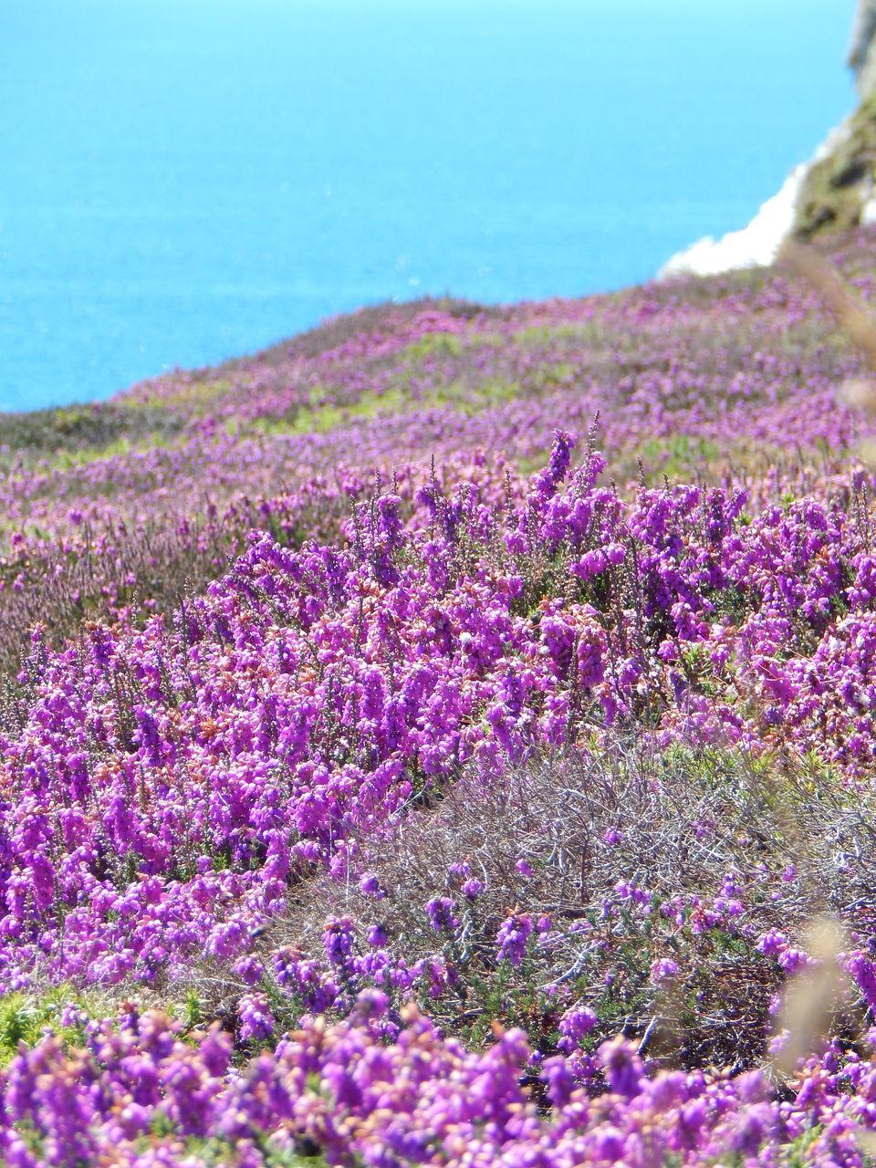 Purple Flowers Growing On Field Against Sea