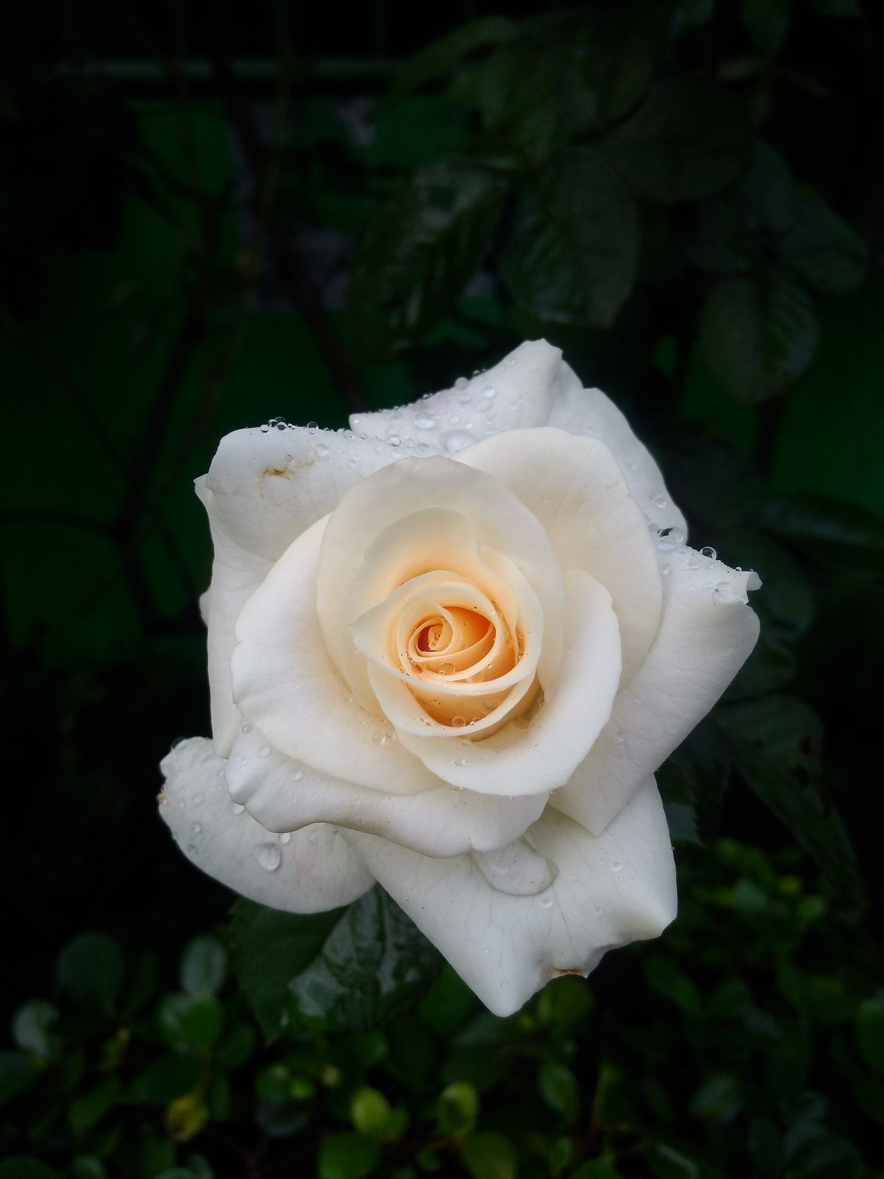 Found On The Roll white rose.. love it...