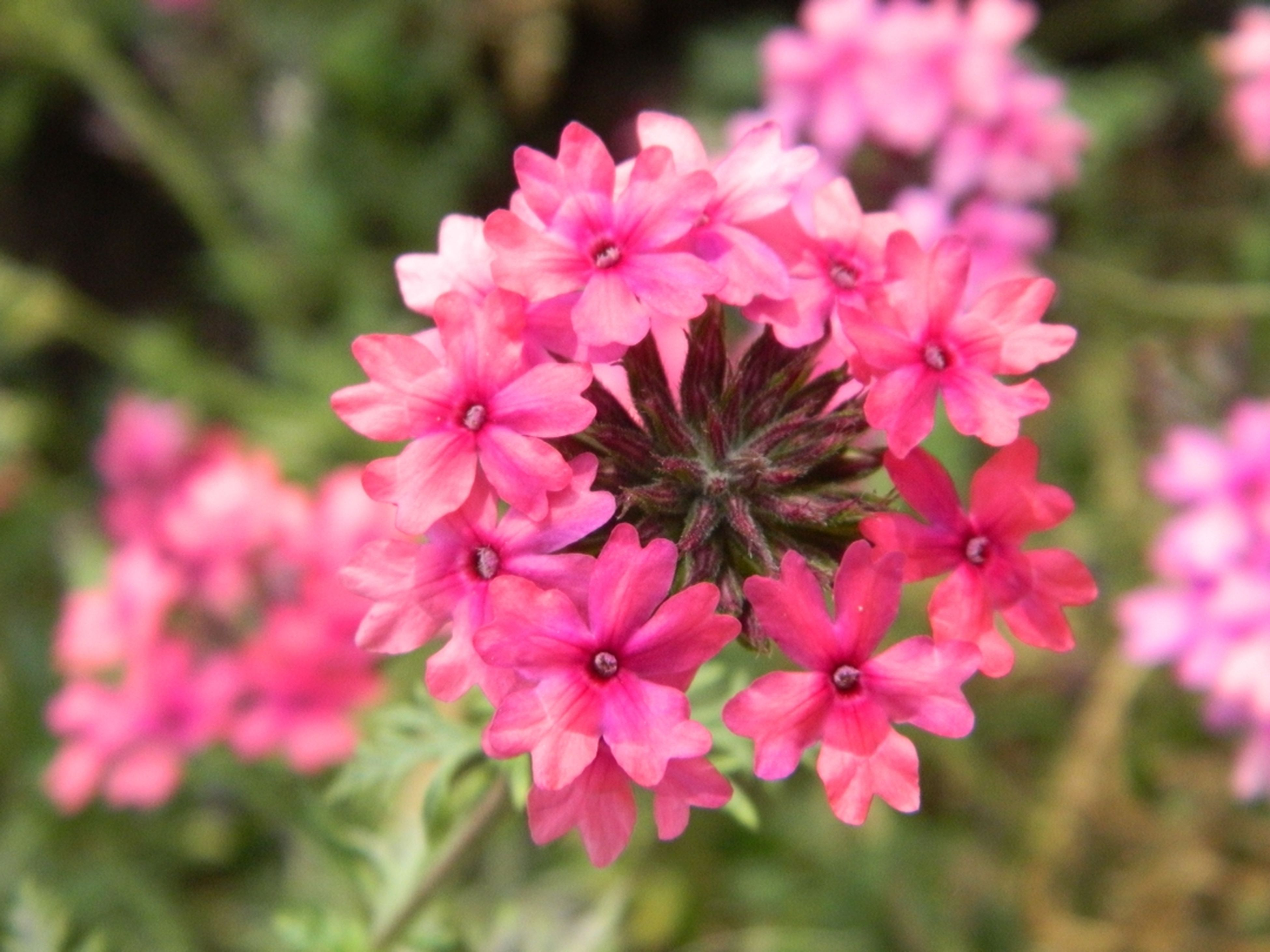 flower, freshness, pink color, fragility, petal, growth, beauty in nature, focus on foreground, flower head, close-up, nature, blooming, pink, in bloom, plant, park - man made space, outdoors, day, selective focus, blossom