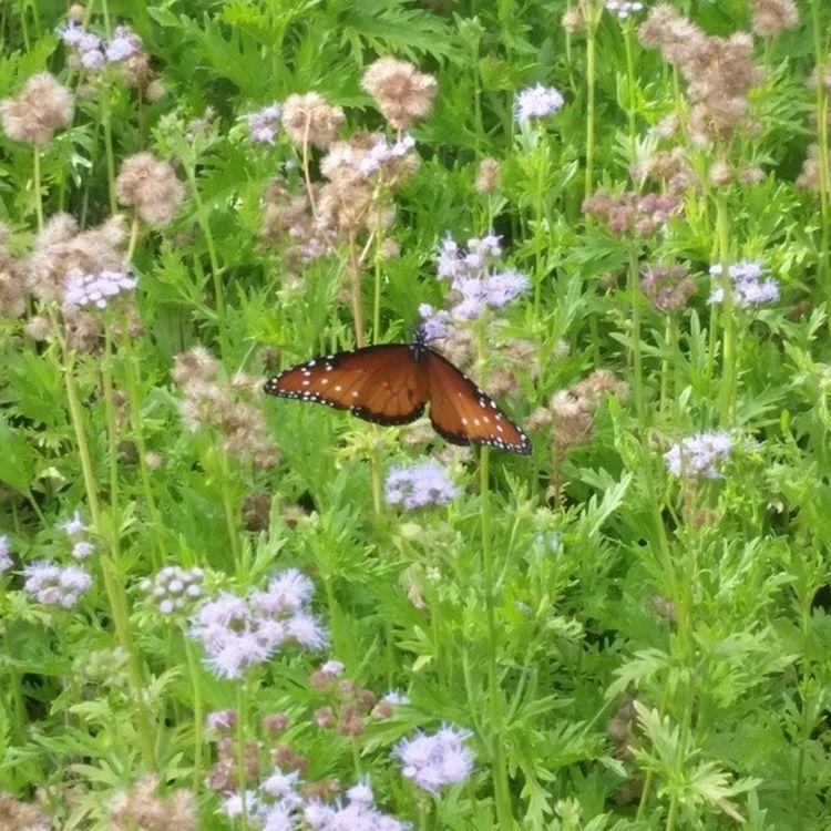 Nothing is more Beautiful . Butterflieseverywhere Ladybirdwildflowercenter