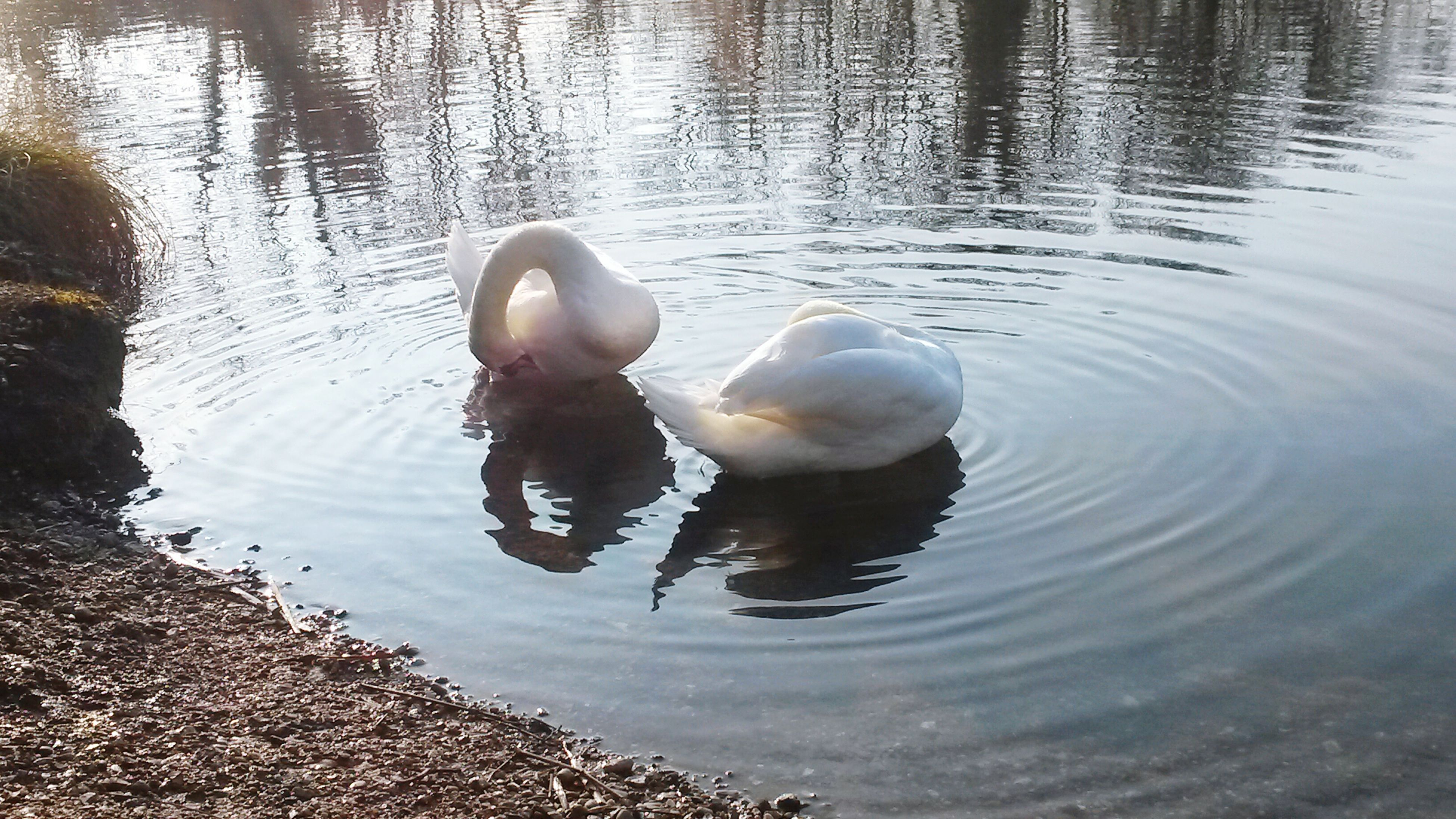water, bird, lake, animal themes, animals in the wild, swimming, swan, wildlife, reflection, duck, rippled, water bird, waterfront, high angle view, nature, floating on water, two animals, outdoors, day, beauty in nature