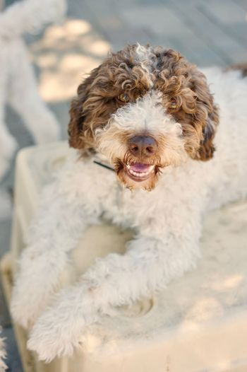 Lagotto (Italian Water Dog) looking into camera. Animal Themes Day Dog Domestic Animals Italian Water Dog Lagotto Romagnolo Mammal No People One Animal Outdoors Pets Poodle Portrait
