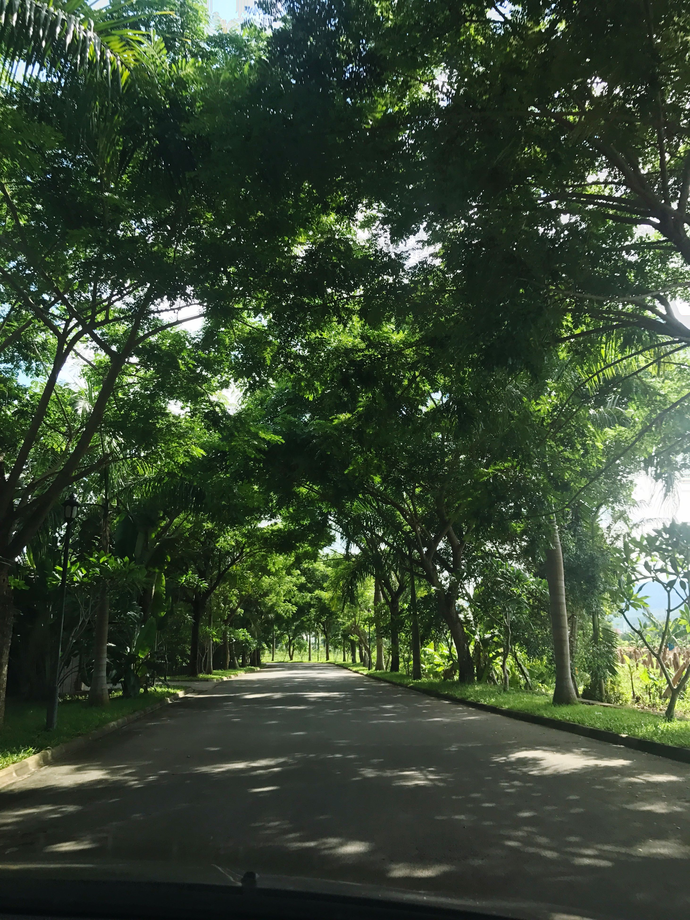 tree, the way forward, nature, growth, tranquility, road, day, tranquil scene, no people, outdoors, beauty in nature, green color, transportation, scenics, branch