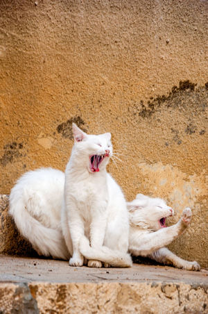 Cat Double Double Vision Posing Cat Sicily Sicily ❤️❤️❤️ Stretching Cat Syncronized Twin Cats Twins Whisker White Cats Yawn Yawning Cats Looking Like They Are Roaring Two Is Better Than One Pet Portraits