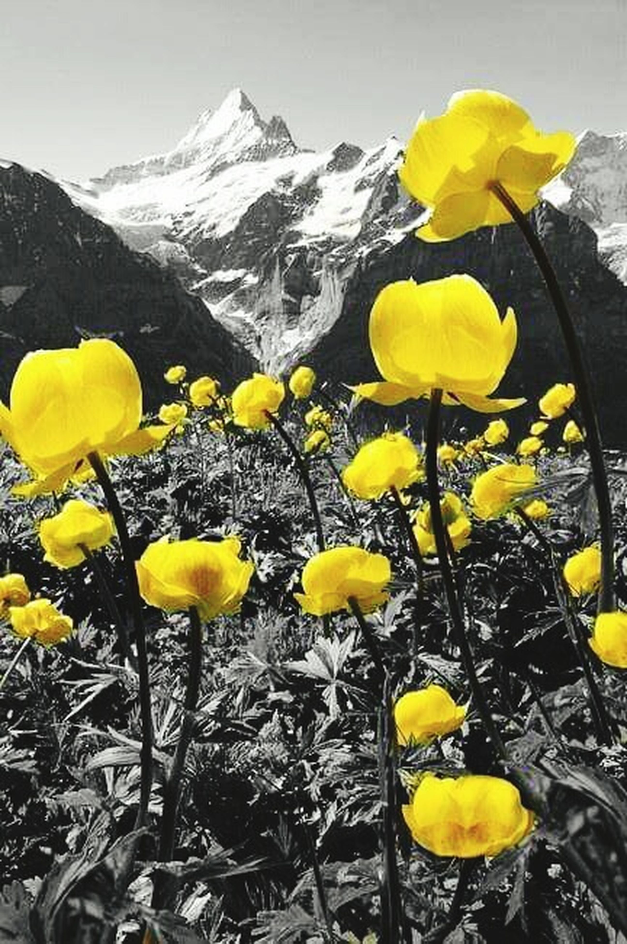 yellow, flower, mountain, beauty in nature, season, nature, fragility, plant, growth, tranquility, freshness, field, mountain range, petal, tranquil scene, high angle view, landscape, stem, winter, day