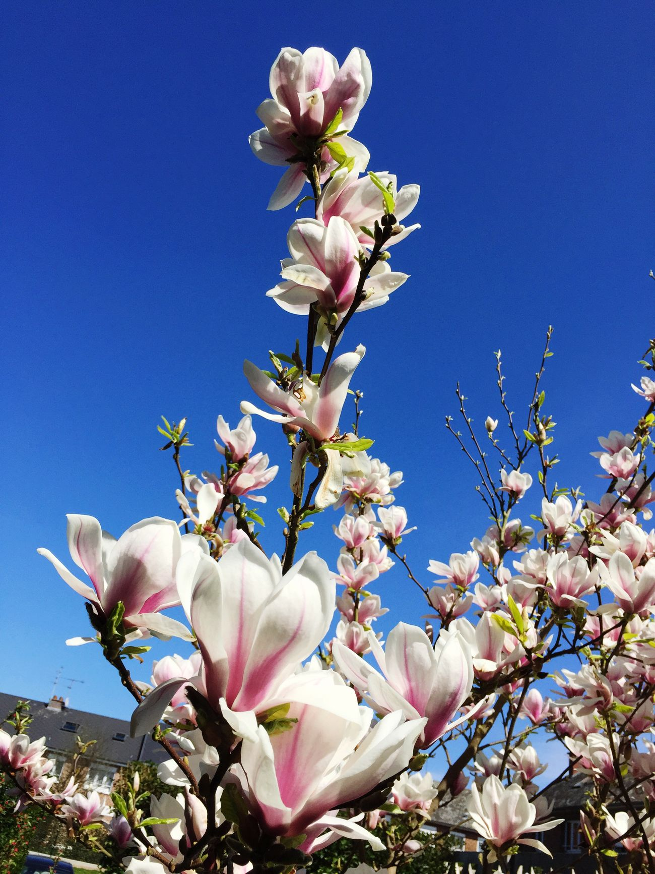 Beautiful stock photos of magnolia, Abundance, Beauty In Nature, Branch, Clear Sky