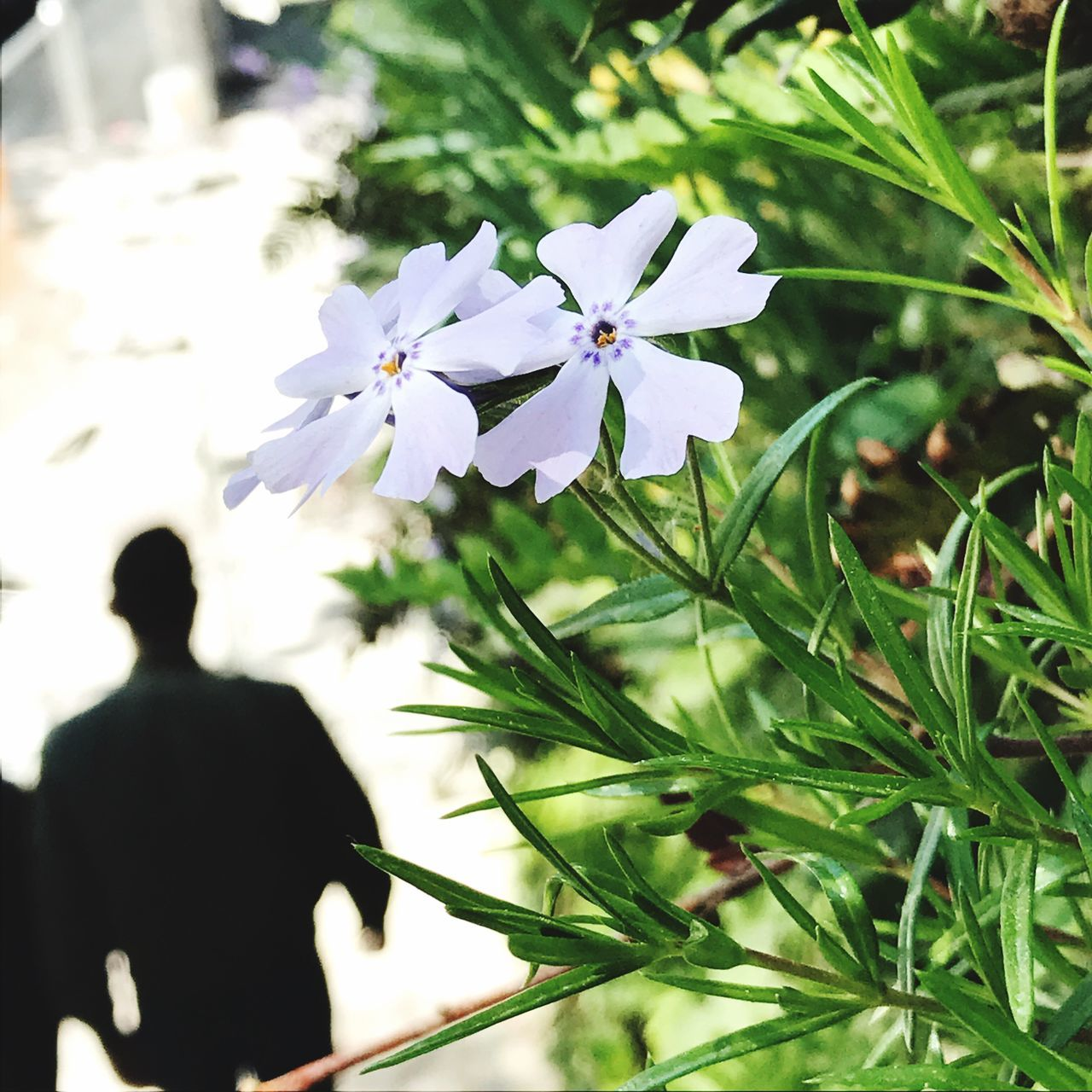 Wall gardens in Stockholm / Södermalm. Flower Nature Growth One Person Outdoors Freshness People Day Beauty In Nature Adult Flower Head Adults Only Silhouette