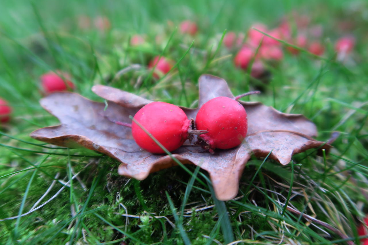 Close-Up Of Fallen Cherries On Dry Leaf At Field