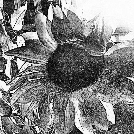 Had this in full color, but I'm digging the black and white version. Flower Sunflower Blackandwhite Instamood Bestoftheday 10likes Instagood 20likes 15likes Ipone