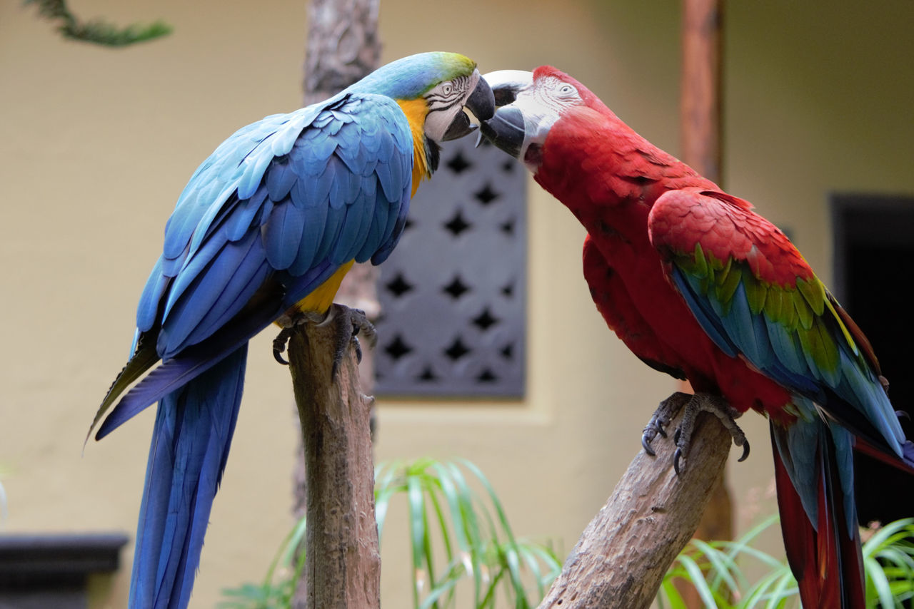 Parrot Parrot Love Canarias Island Life Kisses Lovely Kiss Nature_collection Pappagallo Nature_perfection Colourful Nature Animal Themes Multi Colored Wildlife Spring 2016 Bird Close-up Selective Focus One Animal OneLove One Shot Birds_collection