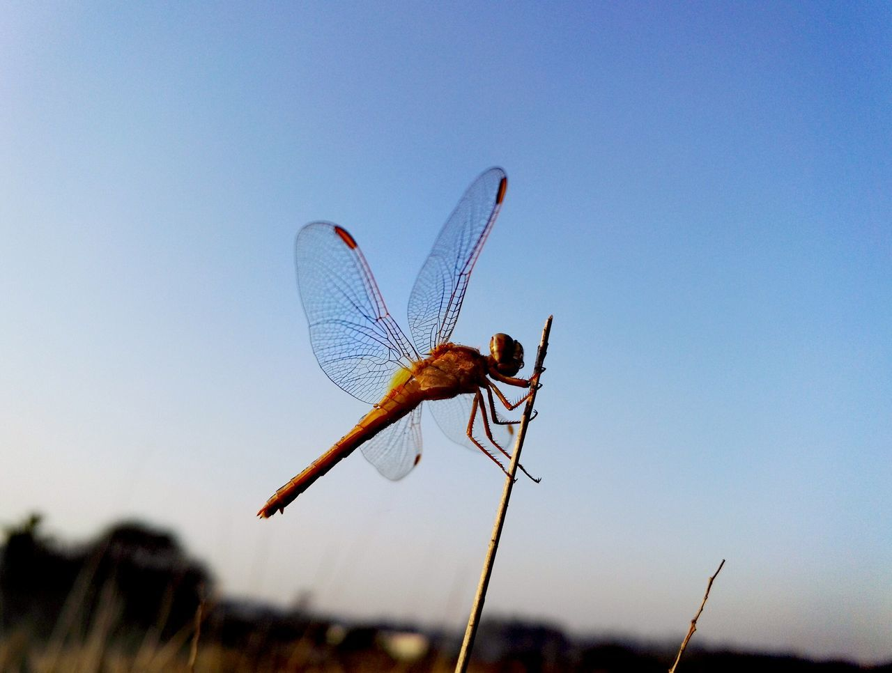 insect, animal themes, one animal, animals in the wild, nature, no people, blue, focus on foreground, day, outdoors, close-up, clear sky, plant, damselfly, beauty in nature