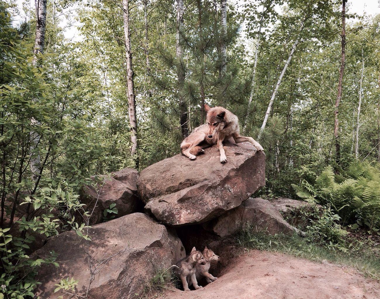 Beautiful stock photos of wolf, Animal Family, Animal Themes, Day, Female Animal