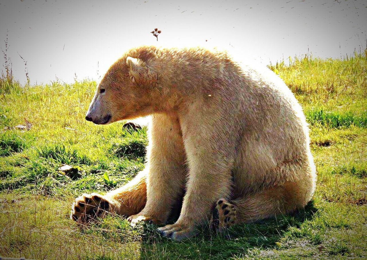 bear, one animal, grass, animals in the wild, animal themes, animal wildlife, mammal, field, no people, water, nature, day, outdoors, sitting, sky, close-up