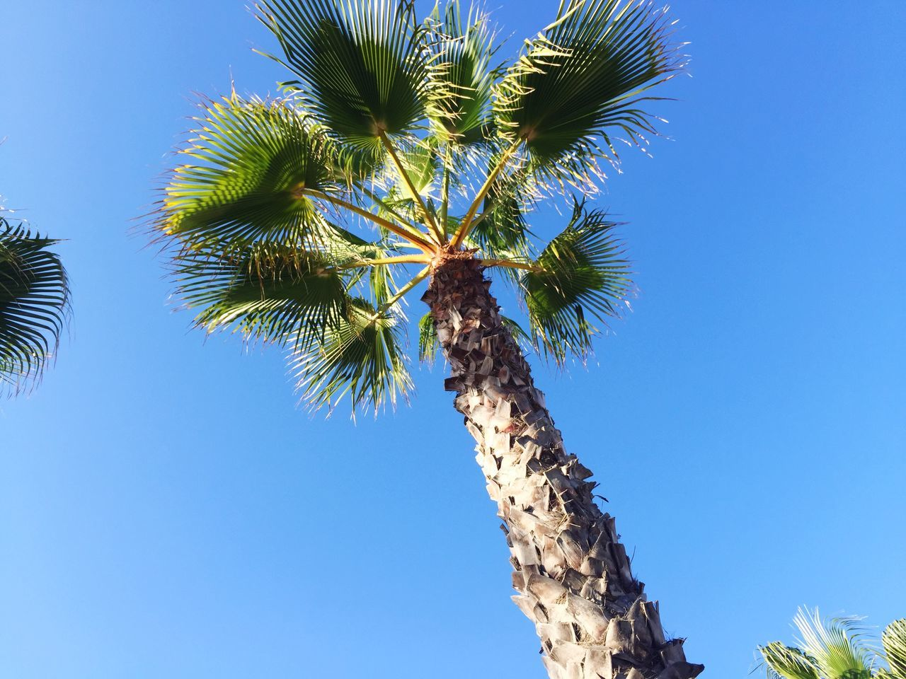 low angle view, palm tree, tree, blue, growth, day, nature, clear sky, outdoors, no people, beauty in nature, tree trunk, sky, branch