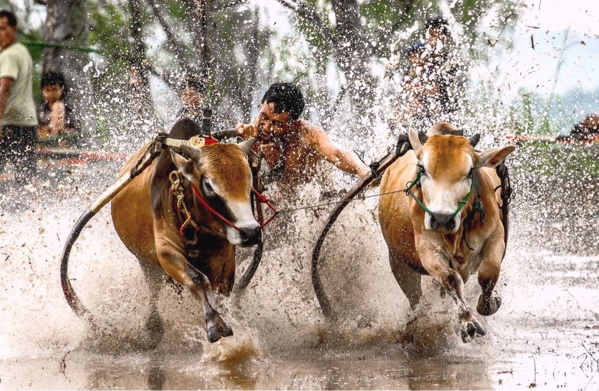 pacu jawi Traditional Tourism Destination Indonesia Traditional Tourism INDONESIA SumateraBarat Indonesiatourism Riding Splashing Sports Race Horseback Riding Horse Motion Speed Jockey Competition Domestic Animals Water Running Adult Mammal Men Gambling Outdoors Horse Racing Only Men One Man Only