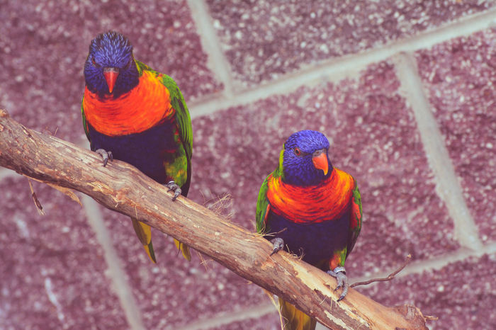 Animal Wildlife Beauty In Nature Blue Blue Sky Green Color Lorakeet Multi Colored Two Animals Two Is Better Than One