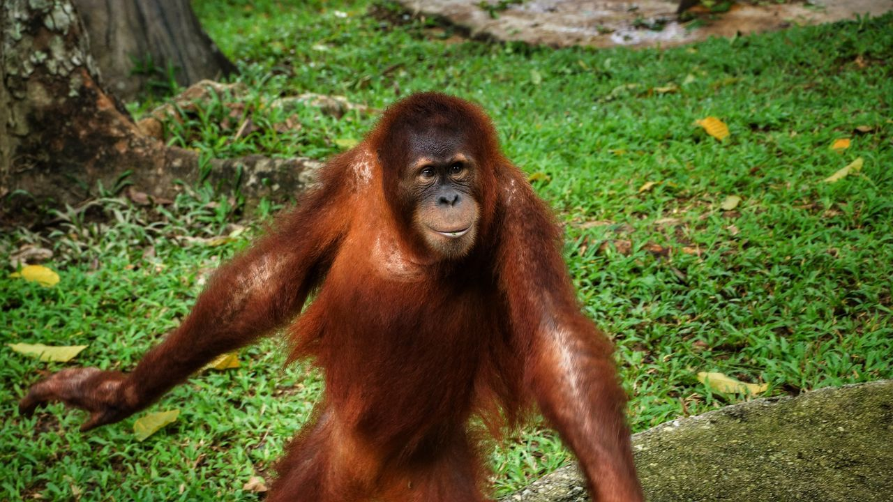 Primate Orangutan Ape One Animal Mammal Animal Wildlife Animals In The Wild Portrait Monkey No People Outdoors Grass Nature Animal Themes Day Close-up Sumatran Orangutan Ape