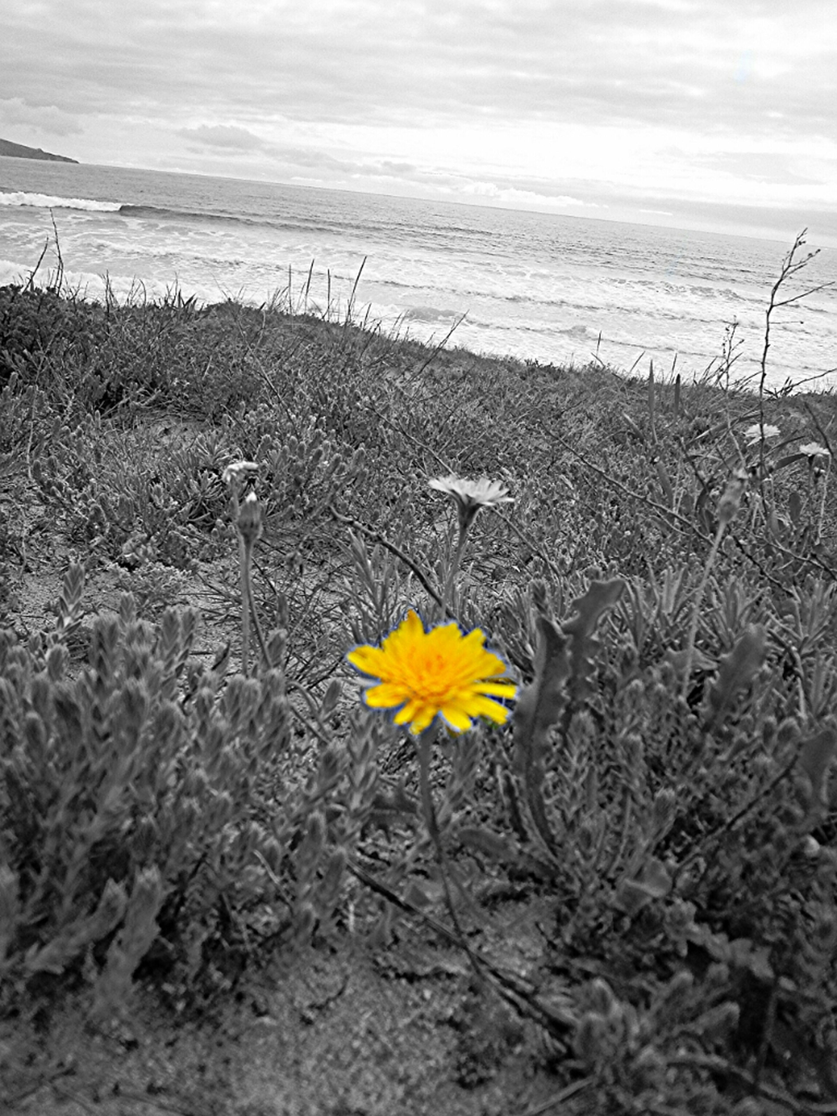 flower, yellow, nature, tranquility, beauty in nature, plant, growth, tranquil scene, fragility, field, sky, sand, dry, high angle view, landscape, beach, outdoors, scenics, freshness, no people