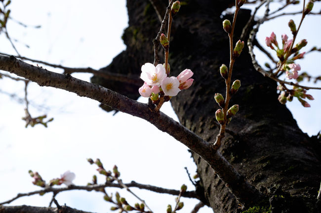 ソメイヨシノ、開花 Branch Cherry Cherry Blossoms Flower Flower Collection Fujifilm Fujifilm X-E2 Fujifilm_xseries Fujinon Growth Japan Japan Photography Japanese Culture Sakura Tree 日本 桜 櫻花 開花 開花宣言