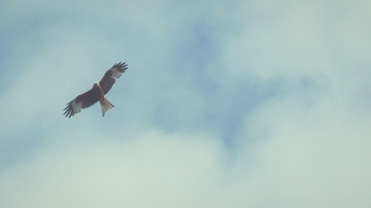 My View Over My House Red Kite Soaring Birds Bird Of Prey In Flight