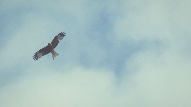 My View Over My House Red Kite Soaring Birds Bird Of Prey In Flight