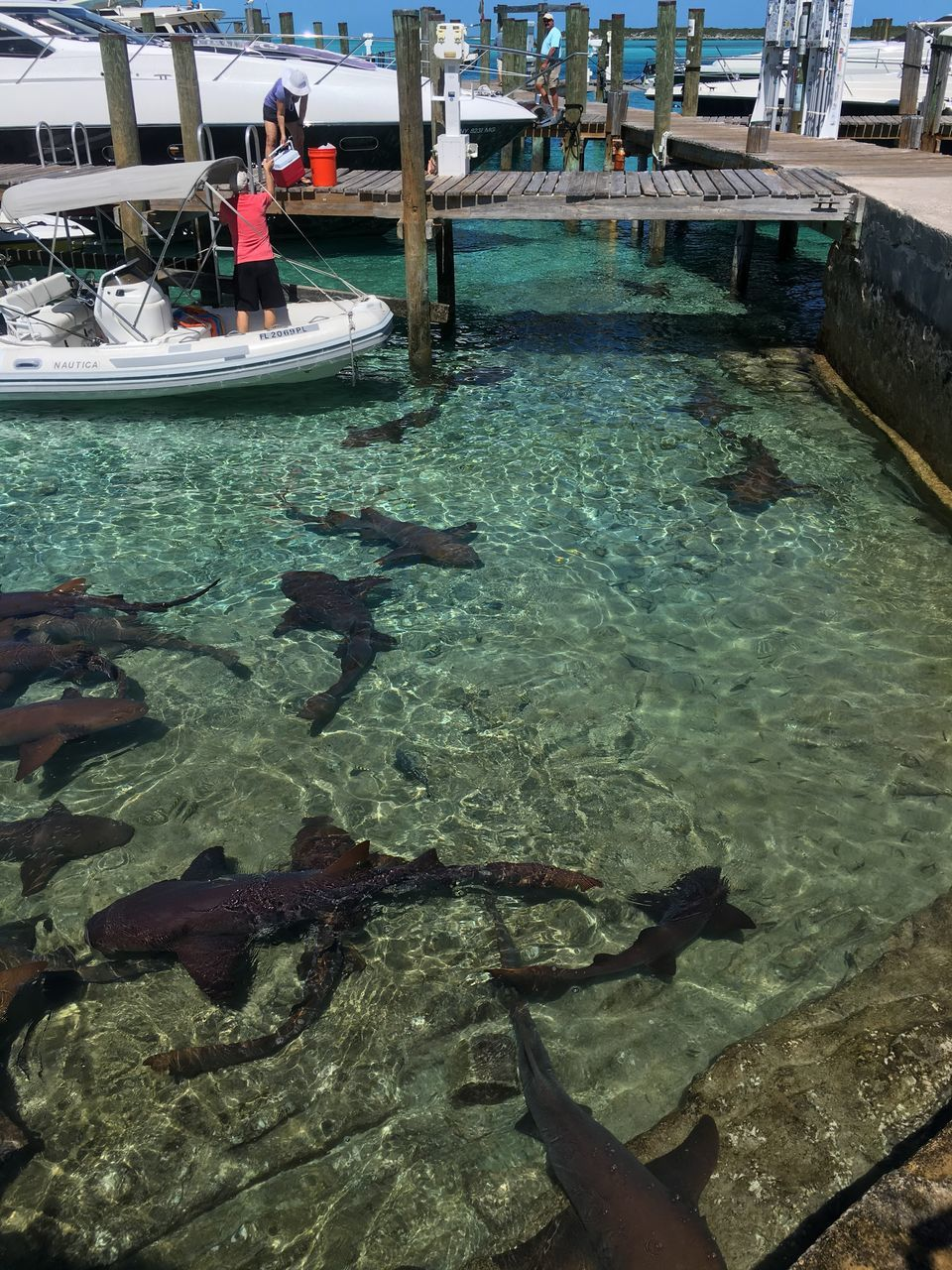People At Harbor With Sharks Swimming In Staniel Cay