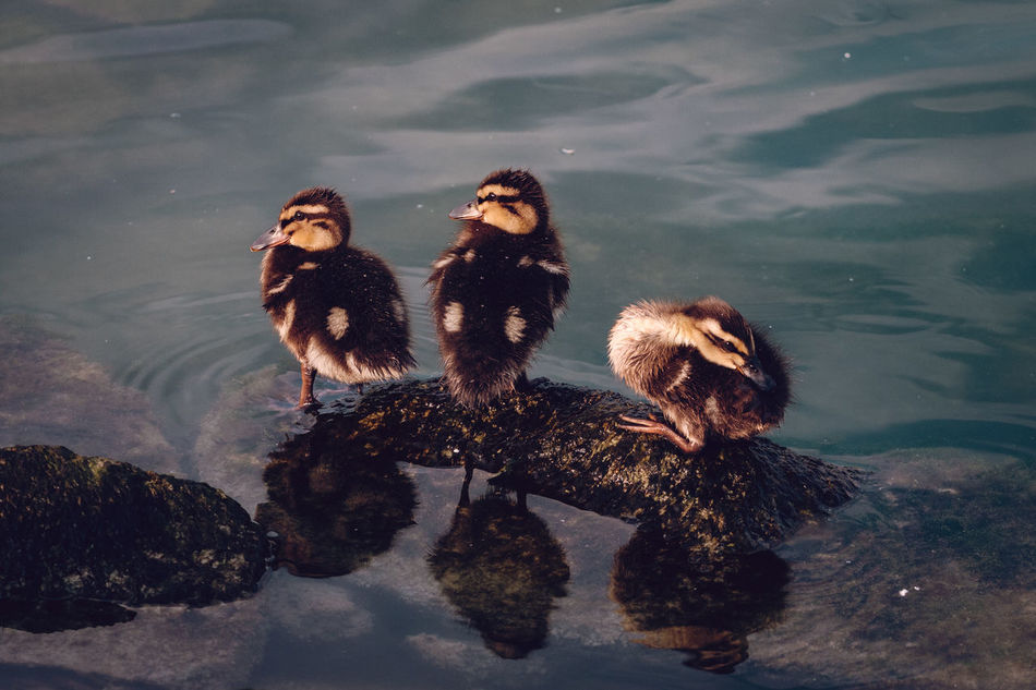 Beautiful stock photos of duck,  Adults Only,  Alertness,  Animal Family,  Duck