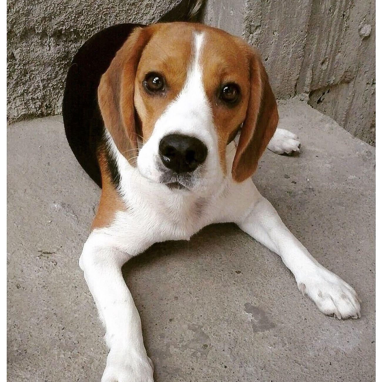 Hora de brincar na laje.. Beagle Beagles  Beaglelovers Beaglelove Lovedogs Lovedogsforever