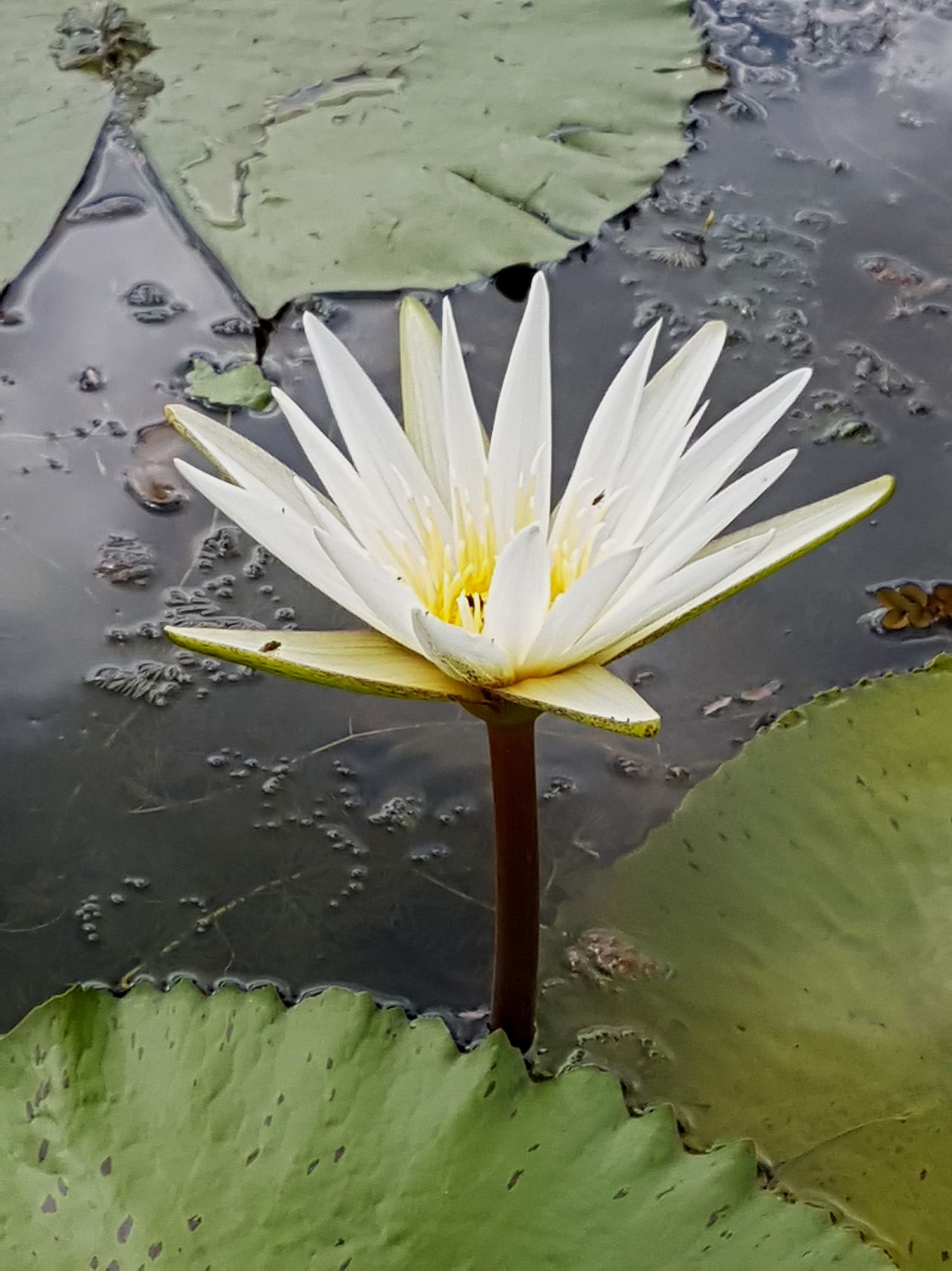 Vitoria Regia Water Lily Lotus Water Lily