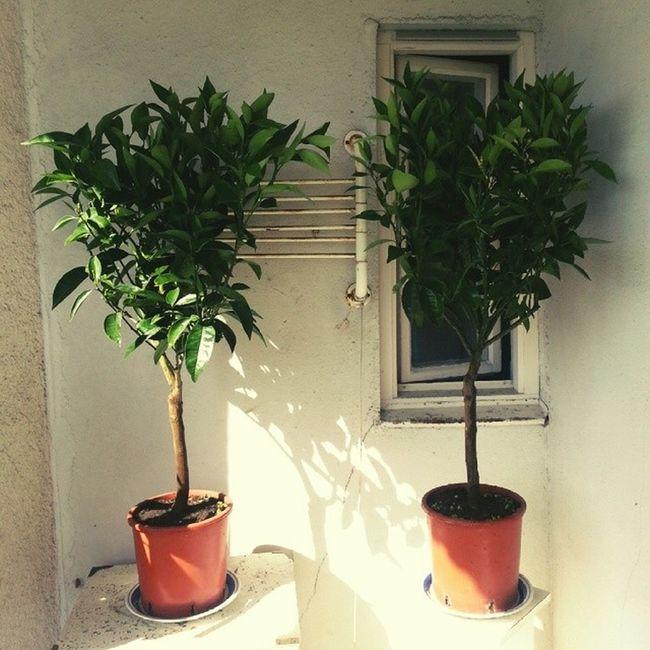 Let's try something new... Orangetree Apelsinträd Balkong Balcony swedishsummer