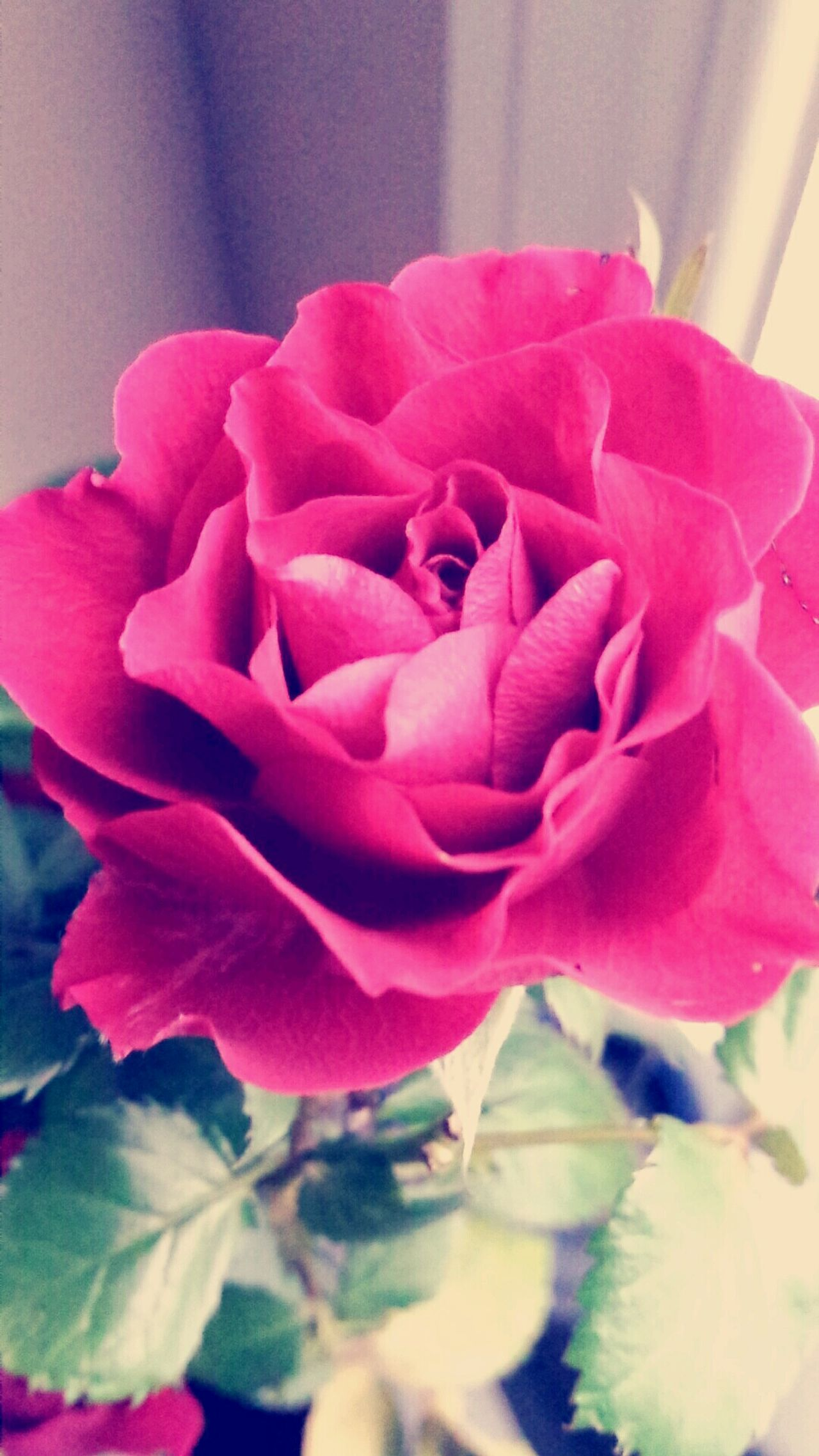 Flower Petal 🌸flower🌸 Red Rose🌹 Rose - Flower Nature Beauty In Nature Freshness Beauty&beast Beautiful