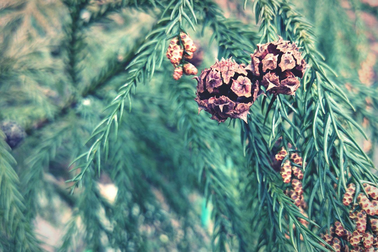 Szyszka Jesień Drzewko